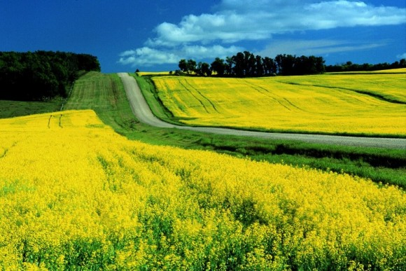 Canola_Field_Road
